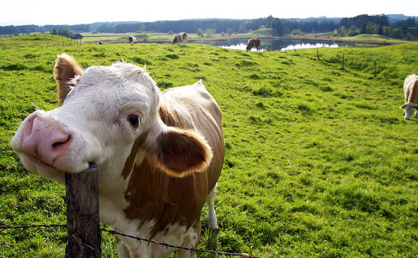 cow, Midwest, culture