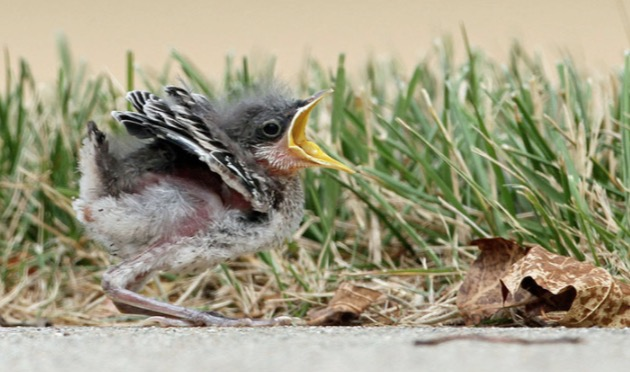 baby bird, mockingbird, animals