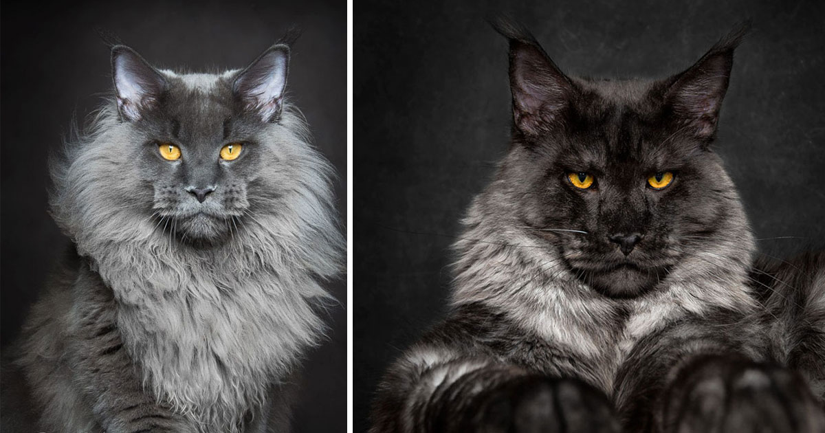 Cats, Maine Coon