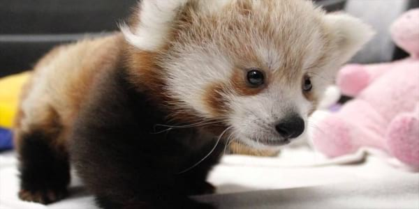 27 Photos That Prove Baby Red Pandas Are The Cutest Women Com
