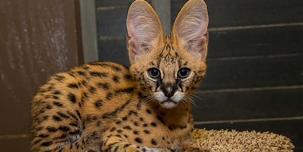 serval, exotic