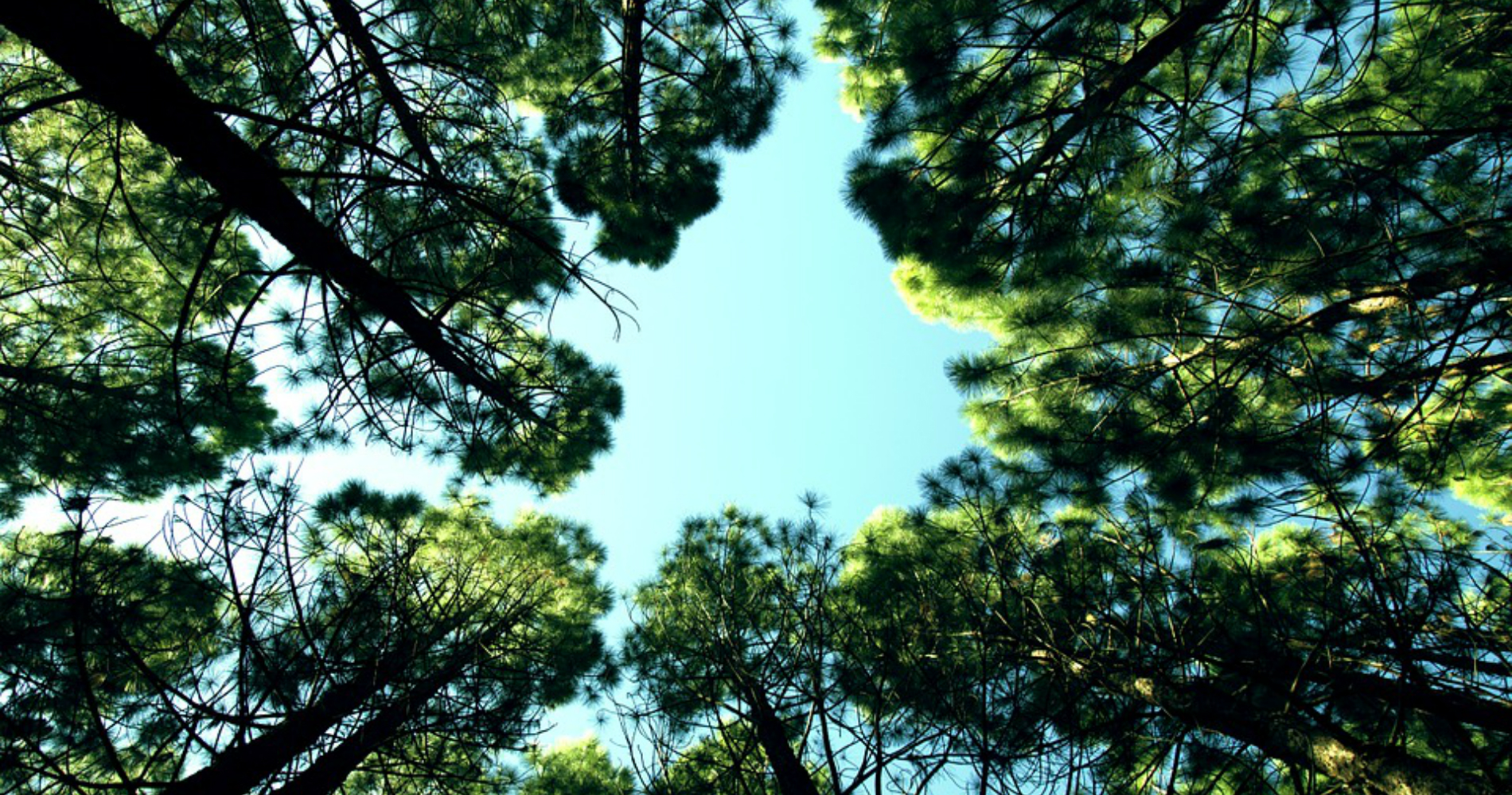 trees, nature, looking up, sun