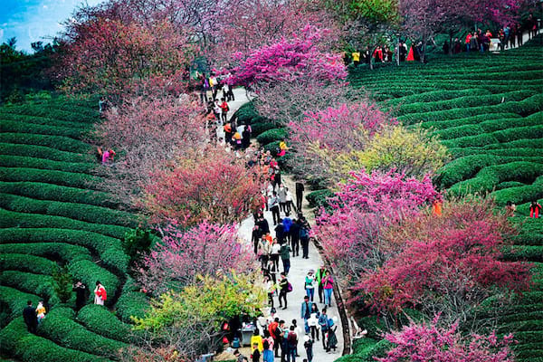 cherry blossoms in china