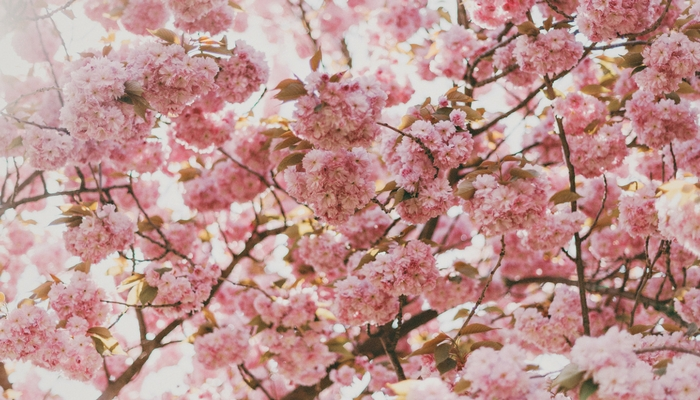 flowers, flower, spring, summer, Outdoors, beauty, pink