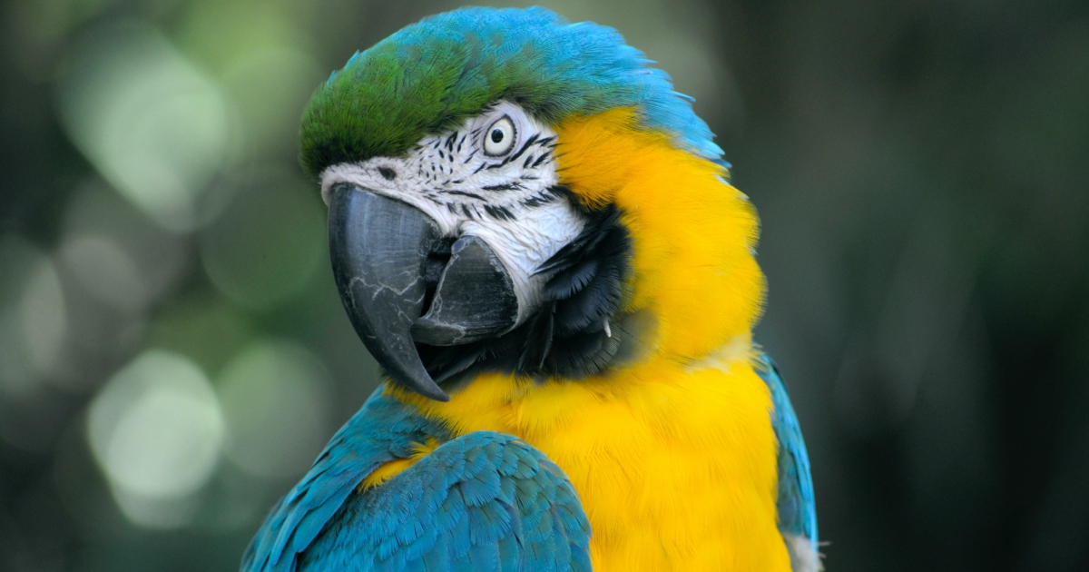 A blue and yellow parrot posing for the camera, animals