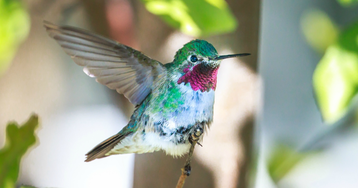 Close-up of a Ruby-Throated Hummingbird, animals