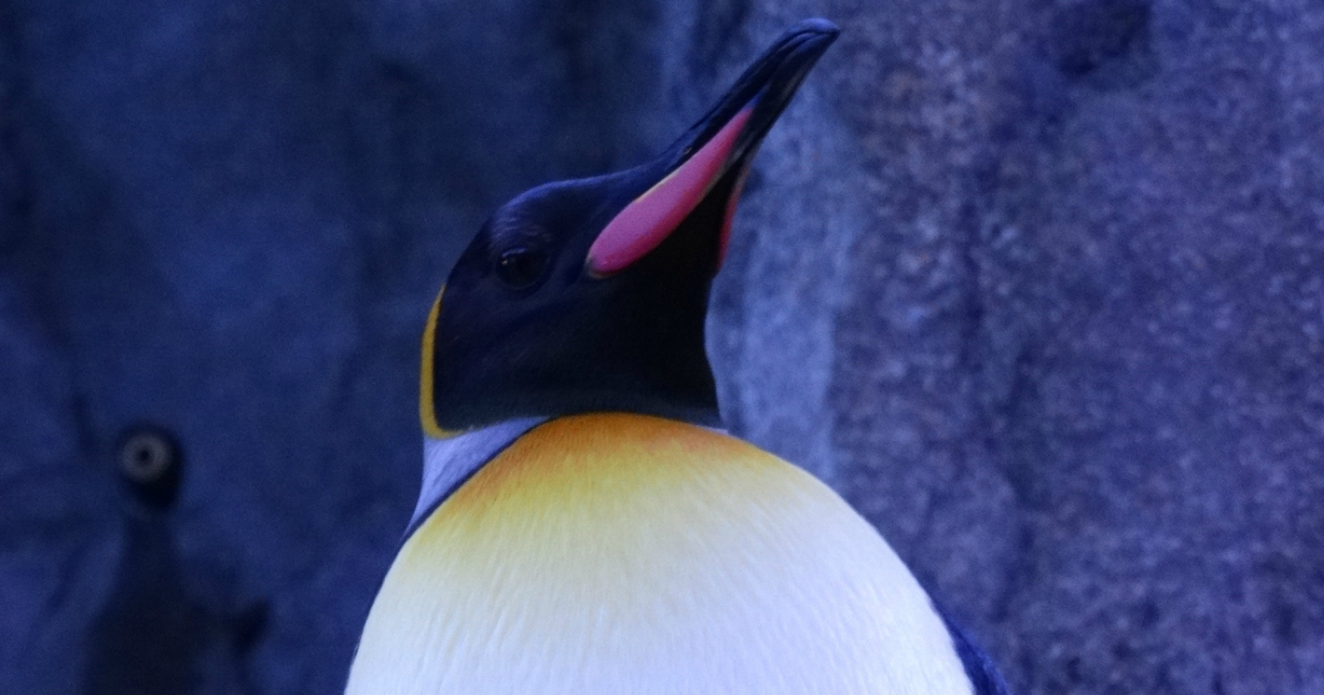 Close-up image of an Emperor Penguin, animals