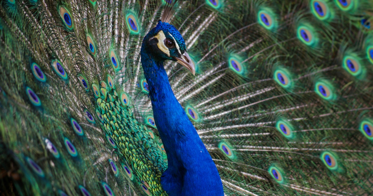 Close-up of an Indian Peafowl, animals