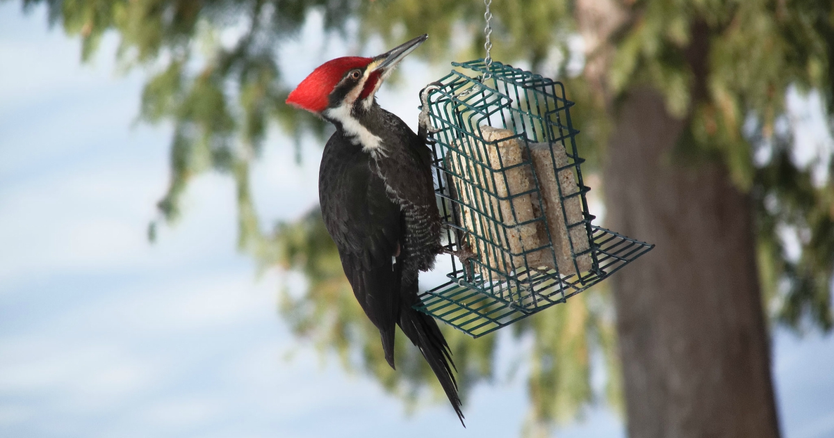 Pileated Woodpecker perched on a small hanging crate with bird food in it, animals