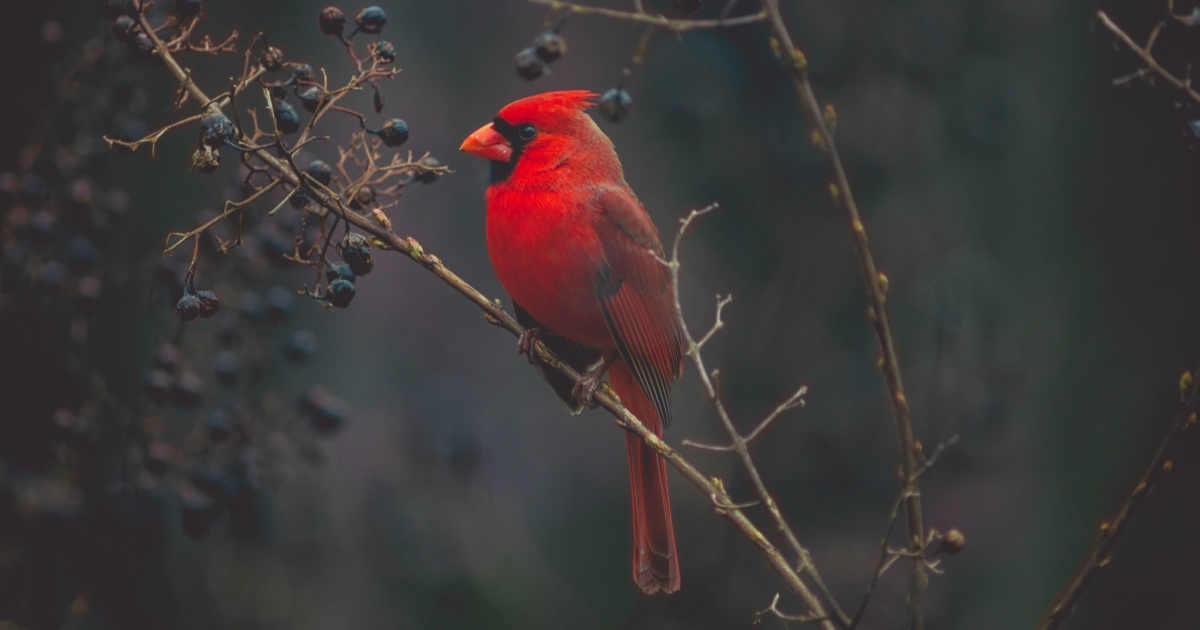 Close-up of a Northern Cardinal perched on a branch, animals