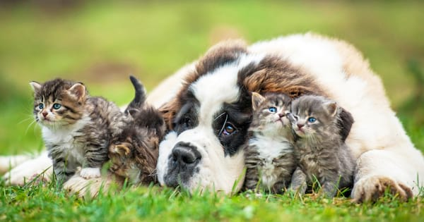 Saint Bernard dog lying in the grass surrounded by three grey and white kittens