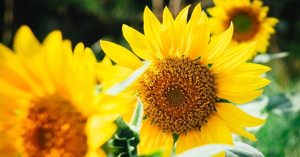 Close-up of several sunflower heads in direct sunlight