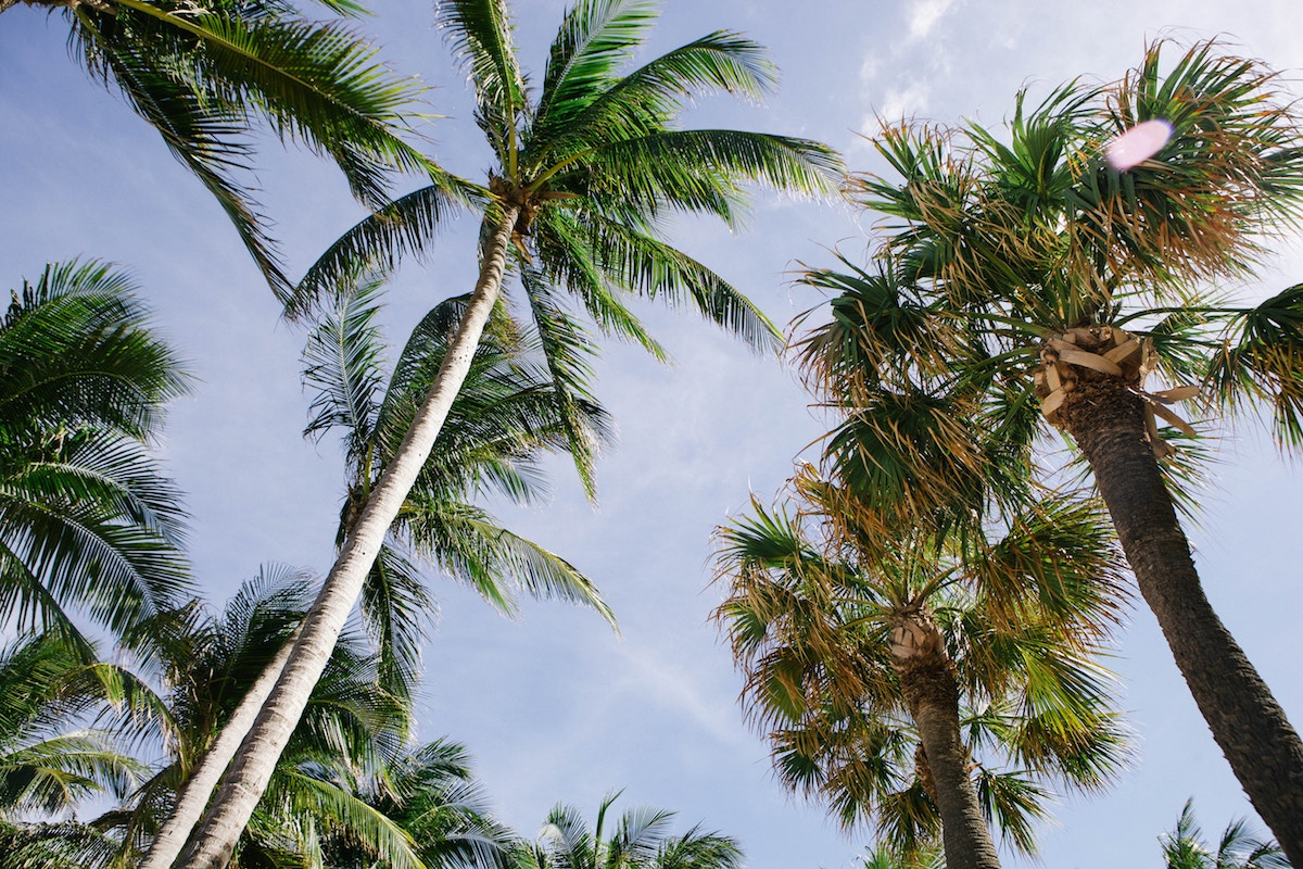 palm trees with a blue sky