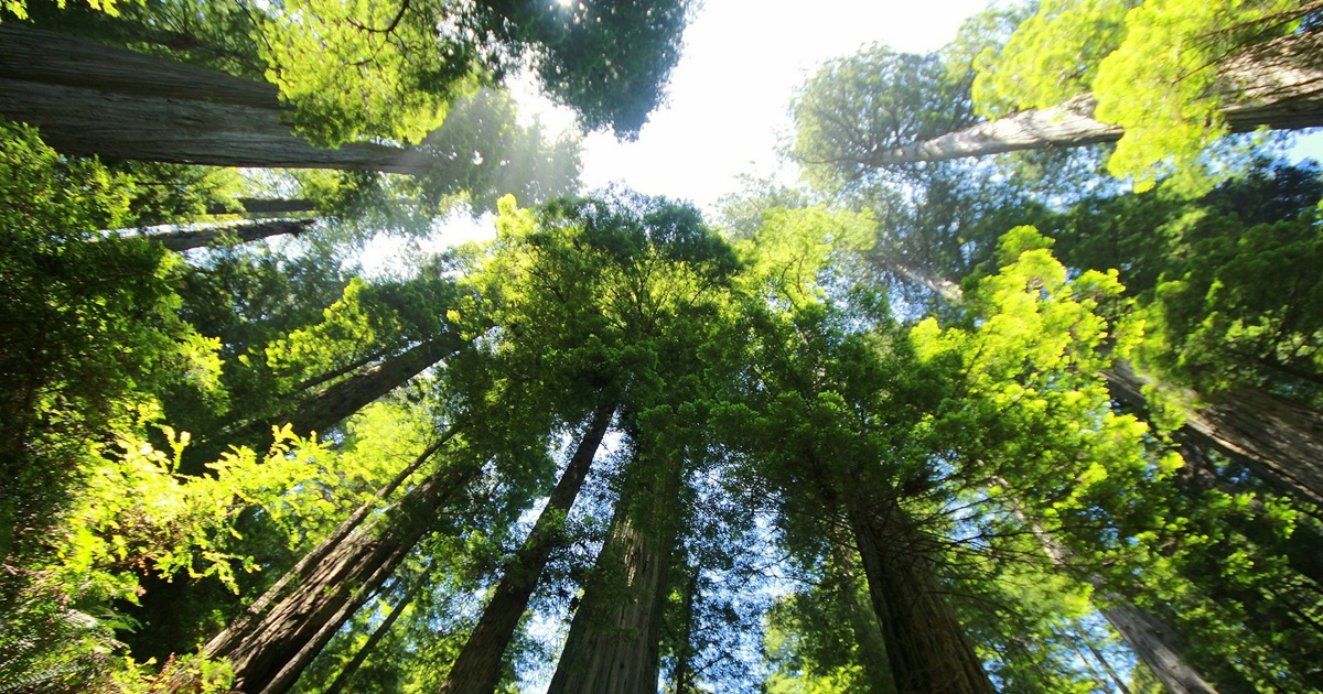 Photo taken from the ground pointed up toward the treetops of sequoias., science & tech, travel