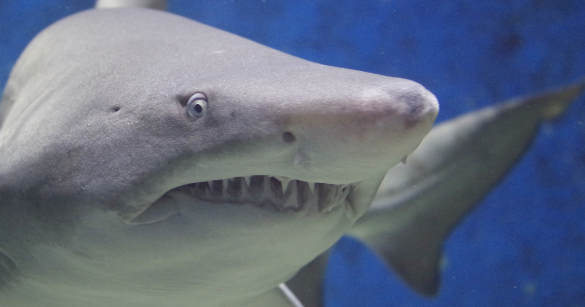 Closeup of a shark swimming in an aquarium