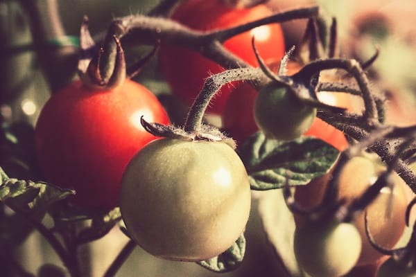 one red, one green tomato, on the vine