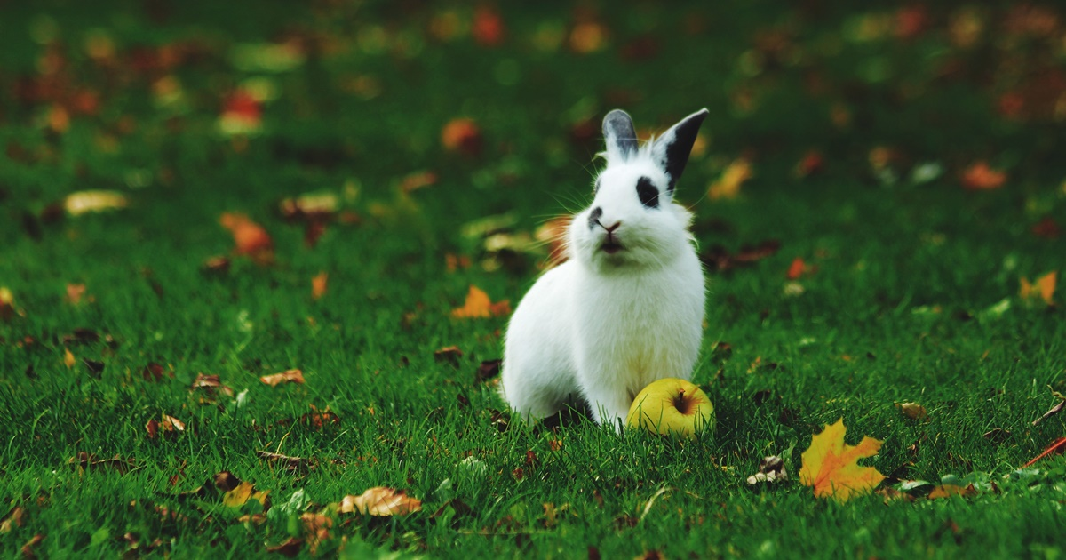 A white bunny sitting outside in the grass next to a yellow apple., science & tech, animals