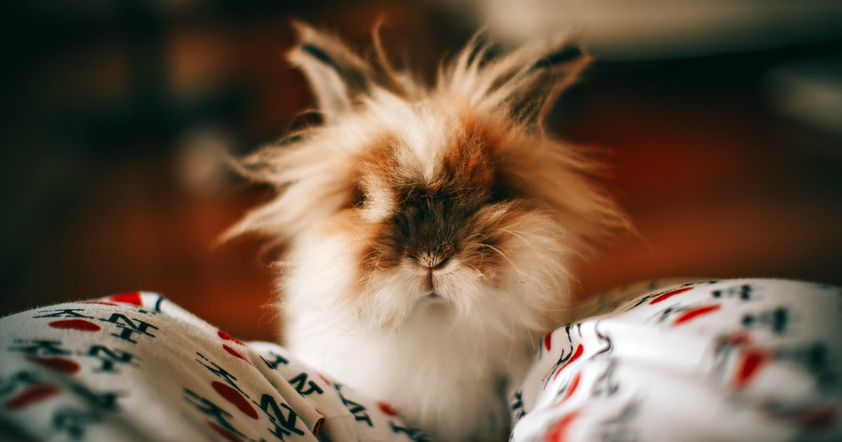 A bunny with fluffy ears sitting on someone's lap., science & tech, animals