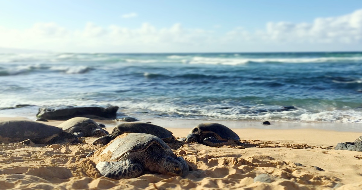Sea turtles walking on the beach in Maui, Hawaii., science & tech, travel