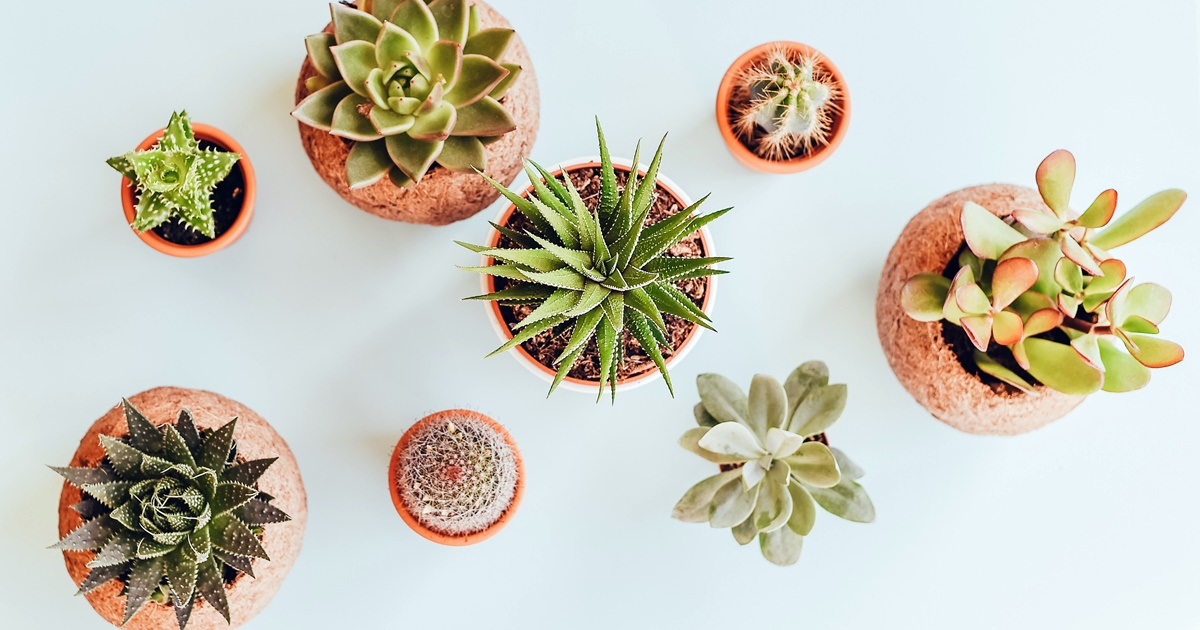 culture, aerial photo of eight different varieties of succulents in small pots, succulent instagram captions