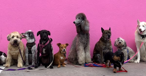 Dogs standing against a pink wall.