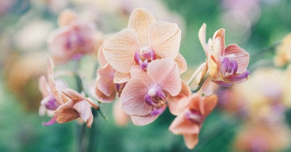 Image of pink orchids.