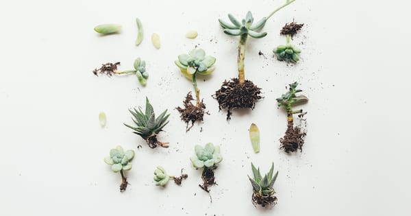 Guide to Growing Succulents and Cacti, various small succulents lying unpotted on a white background