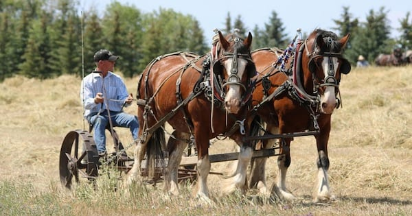 man being pulled by horses through field in north dakota