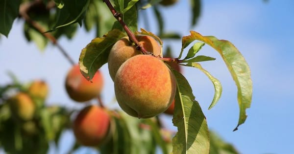 peaches growing from tree in georgia