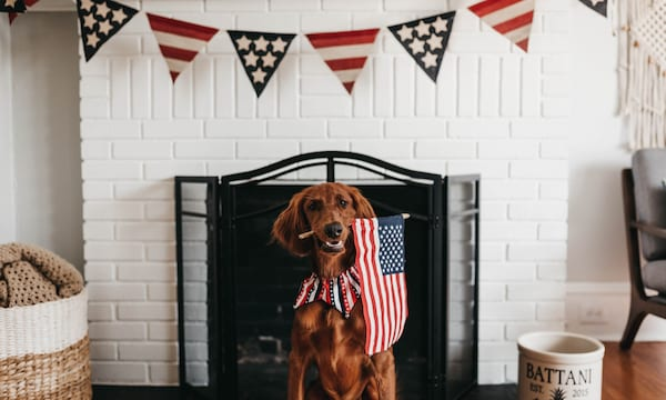 funny patriotic quotes, image of a golden retriever holding a small american flag in its mouth