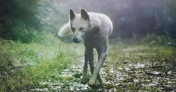 werewolf romance novels, image of a white wolf in the forest, books
