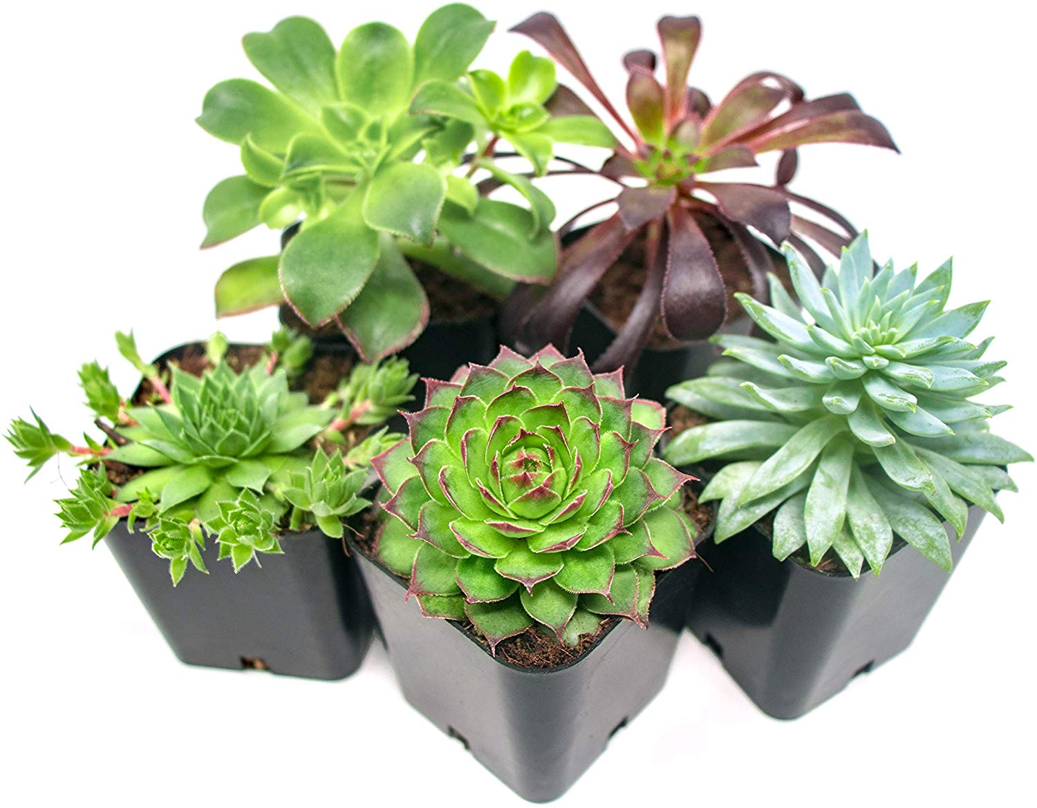 5 Pack of succulent plants from Amazon